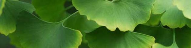 Ginkgo Biloba para tratamento de celulite